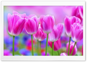 Vivid Colors Tulips, Spring