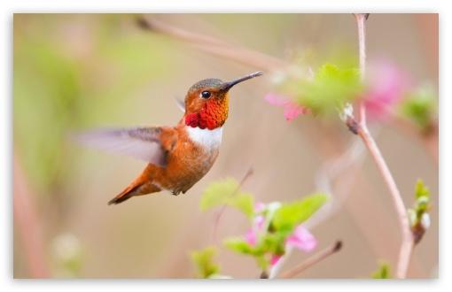 Download Hummingbirds UltraHD Wallpaper