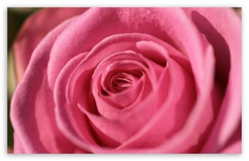 Download Pink Rose Macro UltraHD Wallpaper
