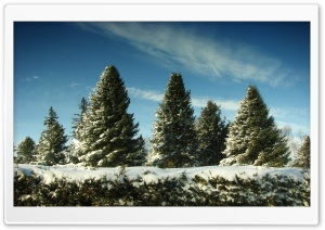 Christmas Trees Covered In Snow