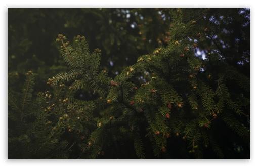 Download Spruce UltraHD Wallpaper