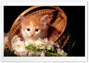Cute Kitten In Basket