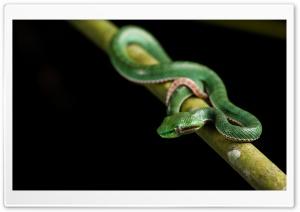 Cute Baby Green Viper