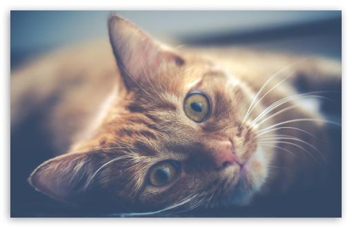 Download Red Cat UltraHD Wallpaper