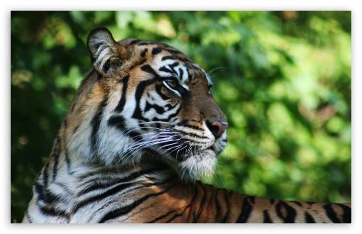 Download Tiger Animal UltraHD Wallpaper