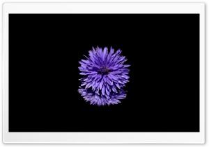 Blue Flower, Black Background
