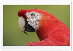 Scarlet Macaw Portrait Amazon...