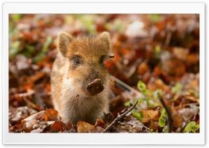 Wild Boar Piglet in the...