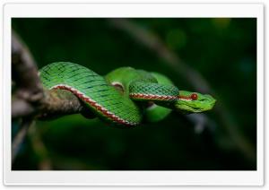 Green Popes Pit Tree Viper...