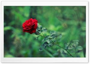 Green Garden Red Rose Summer