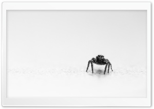 Jumping Spider Black and White