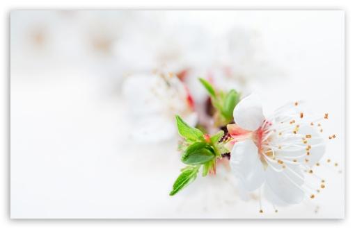 Download White Blossom Tree Flowers UltraHD Wallpaper