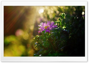Purple Flower in Sun Rays