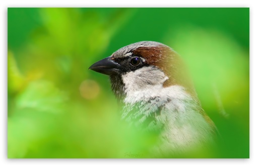 Download House Sparrow UltraHD Wallpaper