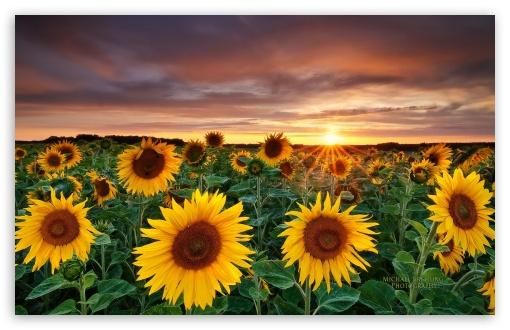 Download Magic Landscape Sunflower Garden Background UltraHD Wallpaper