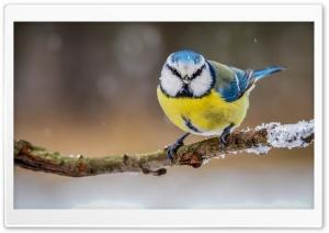 Blue Yellow Bird
