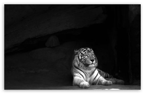 Download Tiger UltraHD Wallpaper