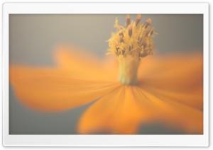Orange And Yellow Cosmos Flower