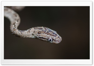 Many-spotted Cat Snake Head...