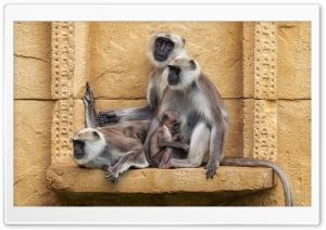 Gray Langur Primates, Old...