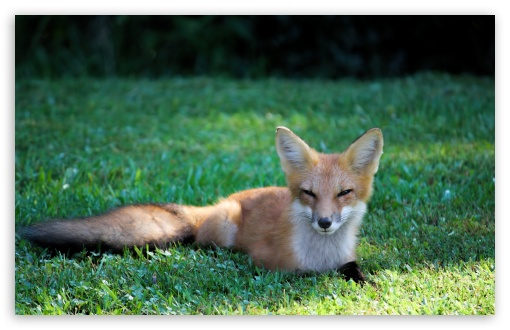 Download Pretty Red Fox UltraHD Wallpaper