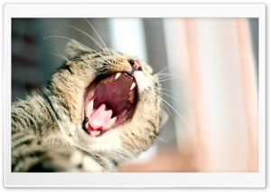Cat Yawning