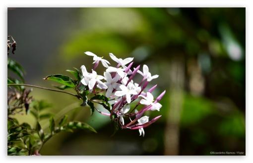 Download White Flowers UltraHD Wallpaper