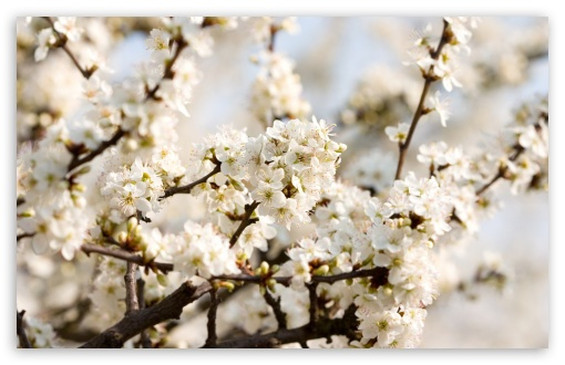 Download Sour Cherry Blossoms UltraHD Wallpaper