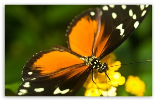 Download Tiger Longwing Butterfly UltraHD Wallpaper
