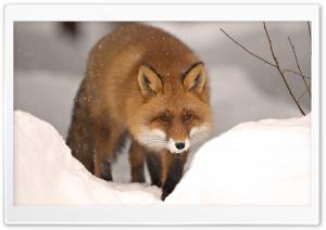 Fox, Winter