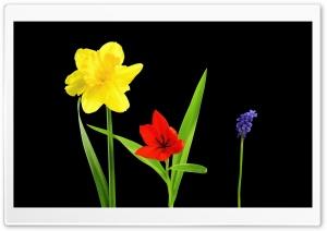 Spring Flowers, Daffodil,...