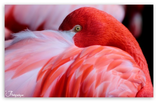 Download Red Flamingo UltraHD Wallpaper