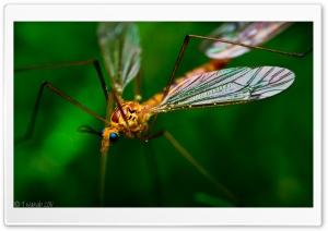 Crane Fly Macro