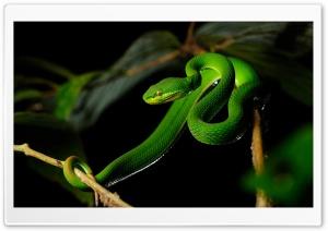 White-lipped Pit Viper Snake