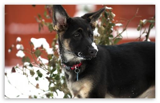 Download German Shepherd Puppy Snow UltraHD Wallpaper