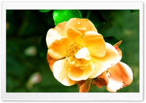 Grandmas favorite Flower