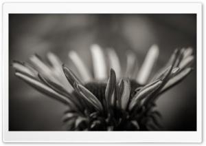 Echinacea Black and White
