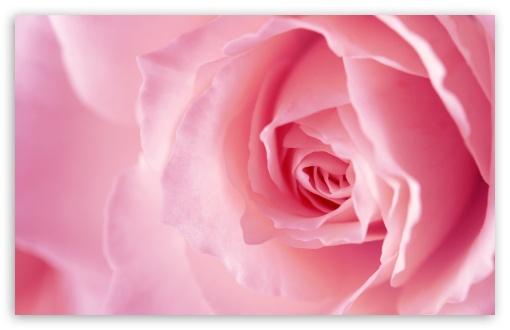 Download Light Pink Rose Macro UltraHD Wallpaper