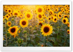 Sunflowers Field, Summer