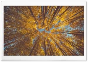 Yellow Autumn Aspen Forest...