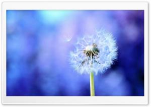 Dandelion On Purple Background