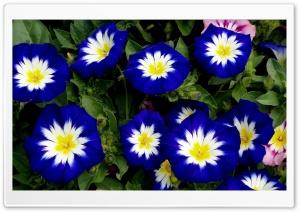 White Blue Flowers