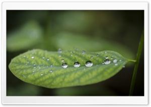 Acacia Leaf   Droplets