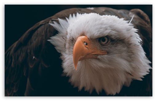 Download Fierce Eagle UltraHD Wallpaper