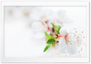 White Blossom Tree Flowers