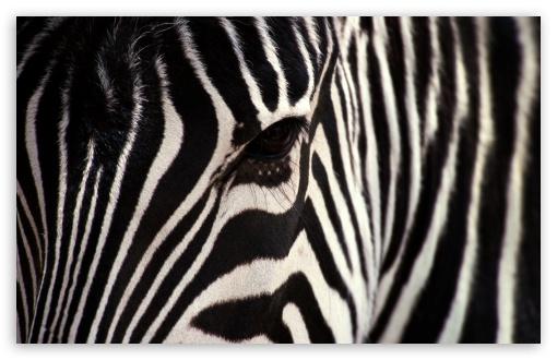 Download Zebra UltraHD Wallpaper