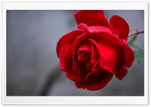 Red Rose Flower Macro