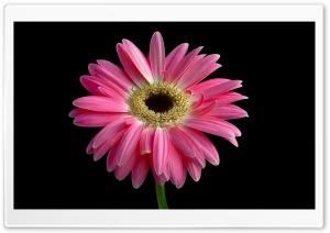 Gerbera Daisies Flowers 14