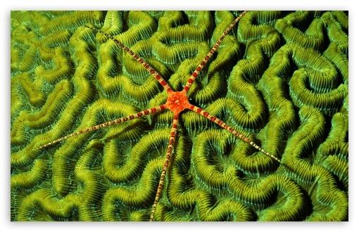 Download Brittlestar On Brain Coral UltraHD Wallpaper