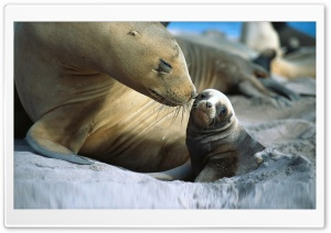 Sea Lion, Cub.